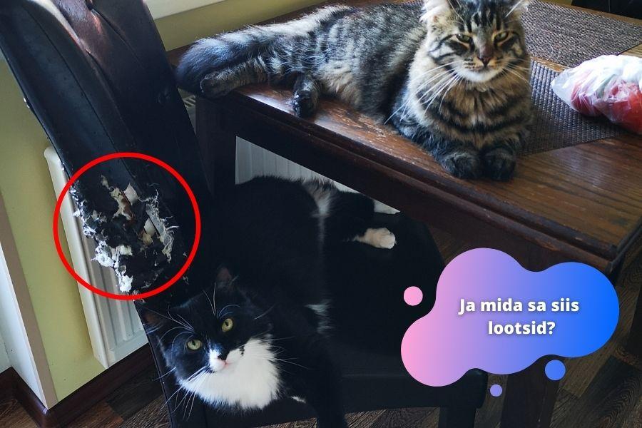 Kass kraabib mööblit